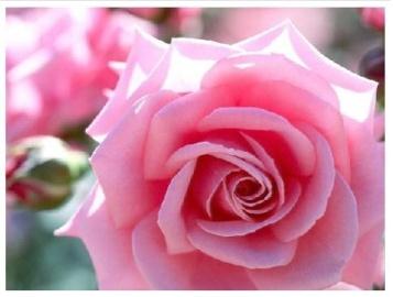 Pink Rose!!